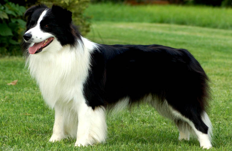 canil de raça border collie